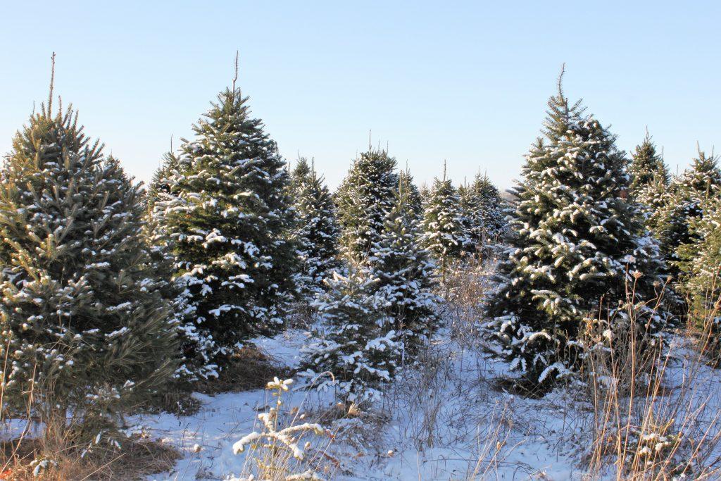 Activité familiale Choisir son arbre de Noel